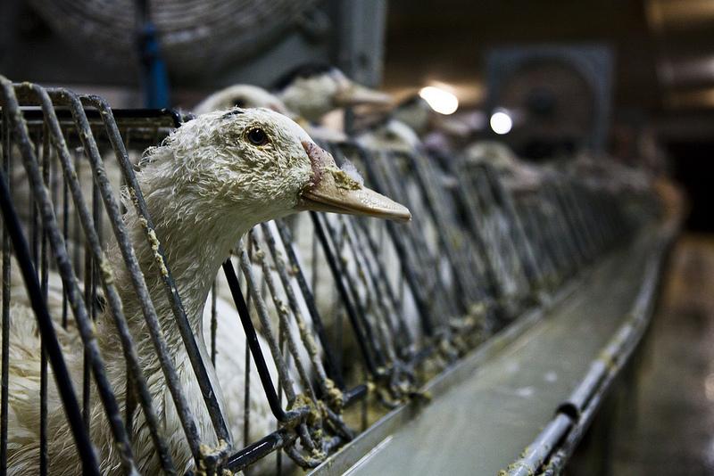 fois gras e violenza sugli animali